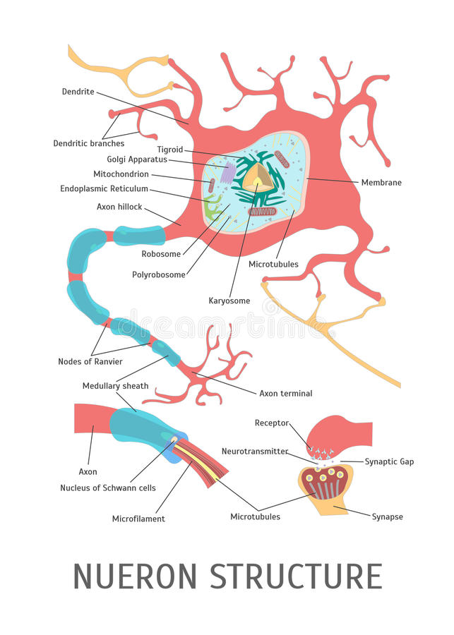 Estrutura dos desenhos animados de um neurônio Vetor ilustração do vetor