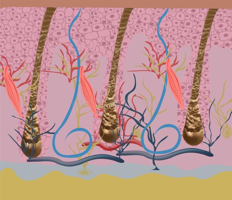 Estrutura e ciclos do crescimento do cabelo em uma cabeça humana sob um close-up do microscópio Ilustração do vetor Cabelo sob ilustração do vetor
