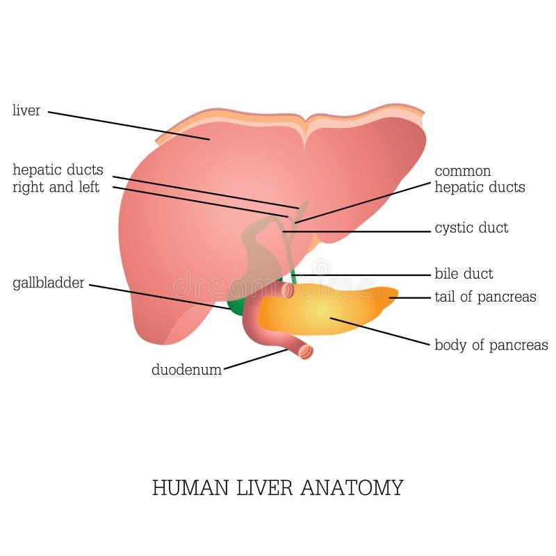 Estrutura e função da anatomia humana do fígado ilustração royalty free