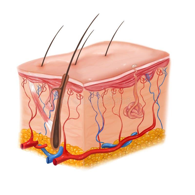 Estrutura humana da pele e do cabelo fotografia de stock royalty free
