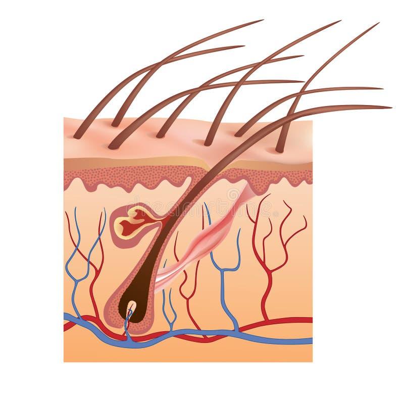 Estrutura humana da pele e do cabelo. Ilustração do vetor. ilustração stock