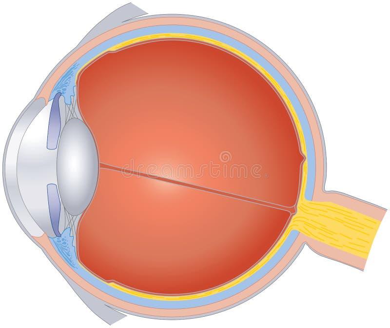 Estruturas do olho humano ilustração stock