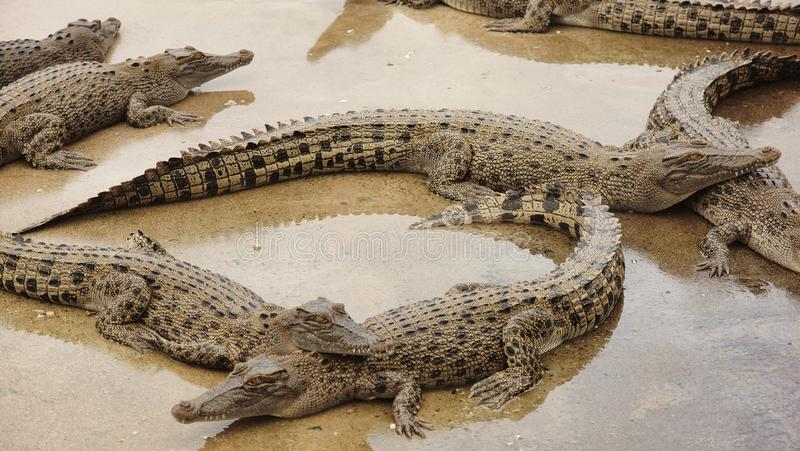 Estuarine Crocodiles at Cairns Crocodile Farm royalty free stock images