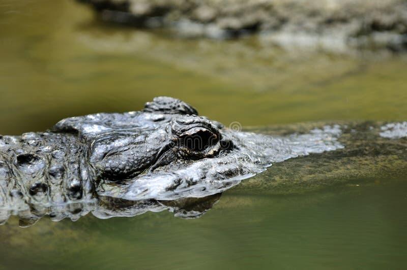 Estuarine Krokodil royalty-vrije stock afbeelding