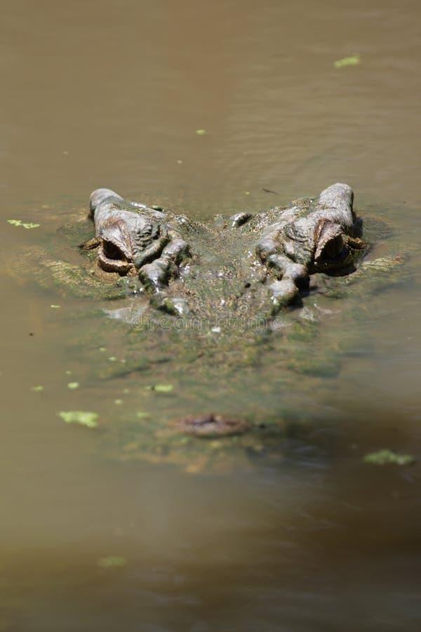 Estuarine Krokodil (porosus Crocodylus) stock foto