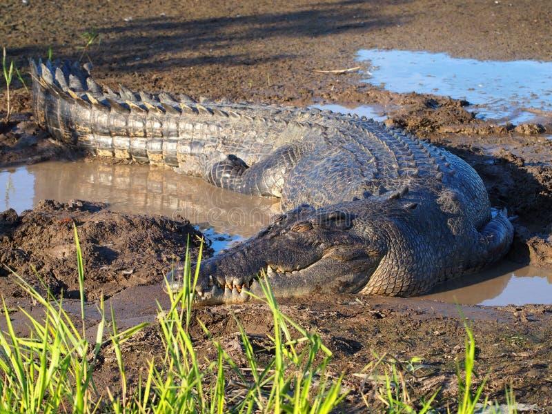 Estuarine saltvattens- krokodil, Crocodylusporosus royaltyfri foto