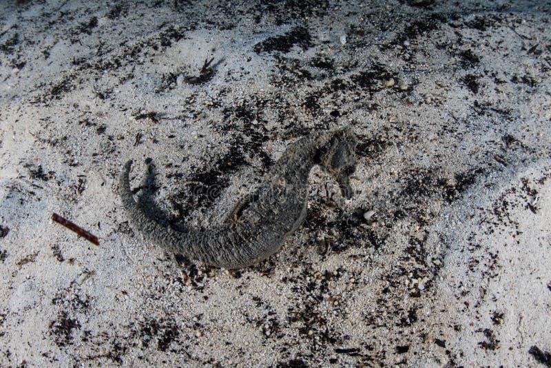 Estuarine Seahorse op Zand in Papoea-Nieuw-Guinea royalty-vrije stock foto