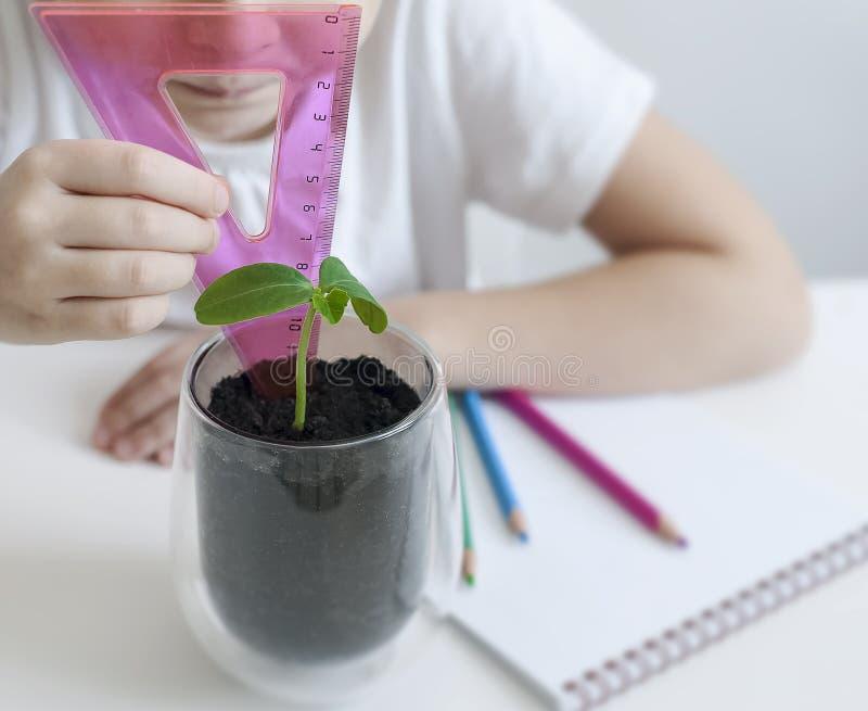 Estudante em uma medida da biologia ou da classe da Botânica uma planta verde brotada com uma régua folhas do ucumber Plantas cre fotos de stock royalty free