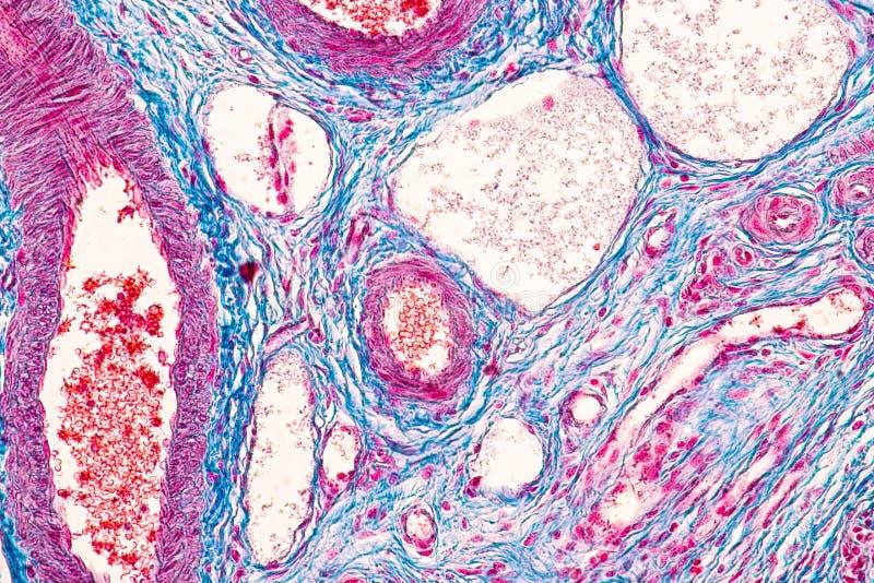 Estudante que aprende a anatomia e a fisiologia do ov?rio sob o microsc?pico imagem de stock