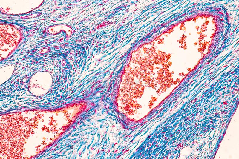 Estudante que aprende a anatomia e a fisiologia do ov?rio sob o microsc?pico fotografia de stock
