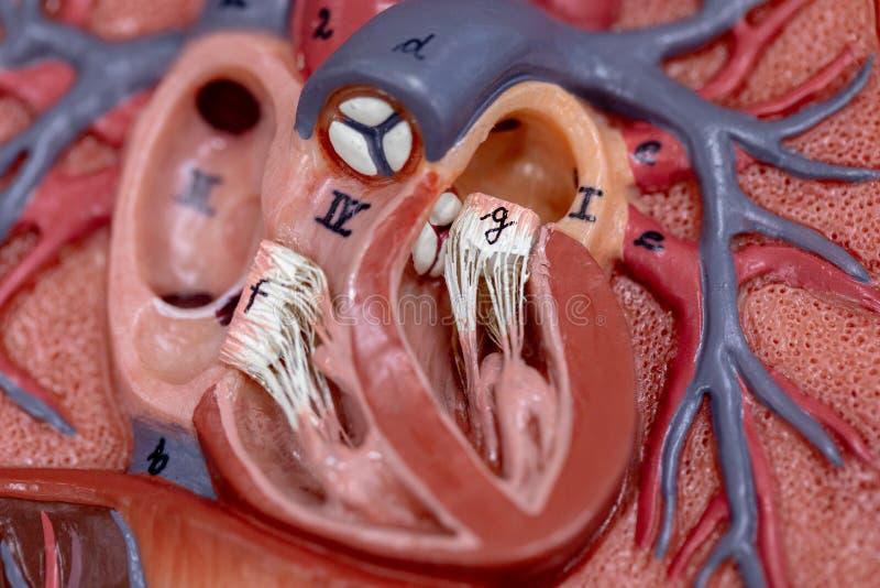 Estudante que aprende o cora??o de porco cru da anatomia para a educa??o imagens de stock