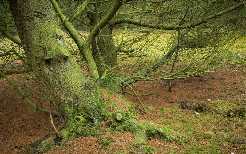 Estudio del tronco de árbol de pino fotografía de archivo libre de regalías