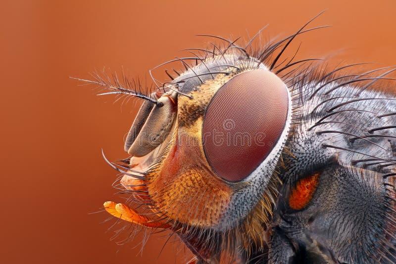Estudio muy agudo y detallado de la cabeza de la mosca apilado de muchas imágenes en una foto muy aguda imagenes de archivo