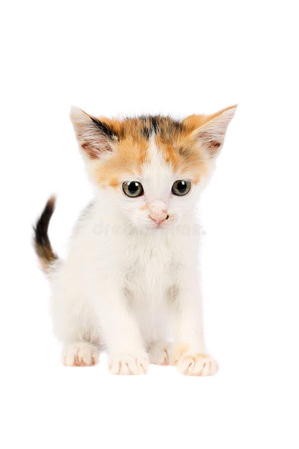 Estudio tirado de un gatito adorable del calicó de dos meses, mirando curiosamente, aislado en el fondo blanco fotos de archivo