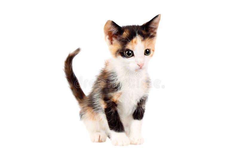 Estudio tirado de un gatito adorable del calicó de dos meses, mirando curiosamente, aislado en el fondo blanco imagen de archivo libre de regalías