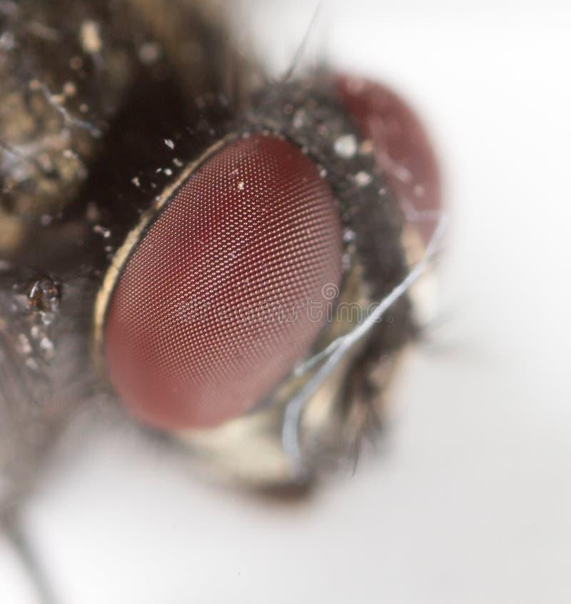 Estudo afiado e detalhado extremo da cabeça da mosca empilhado de muitos tiros tomados com lente do microscópio imagens de stock royalty free