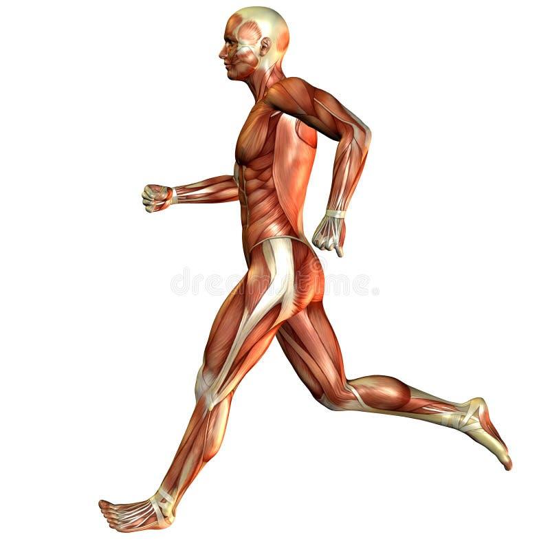 Estudo atual, homem do músculo ilustração do vetor
