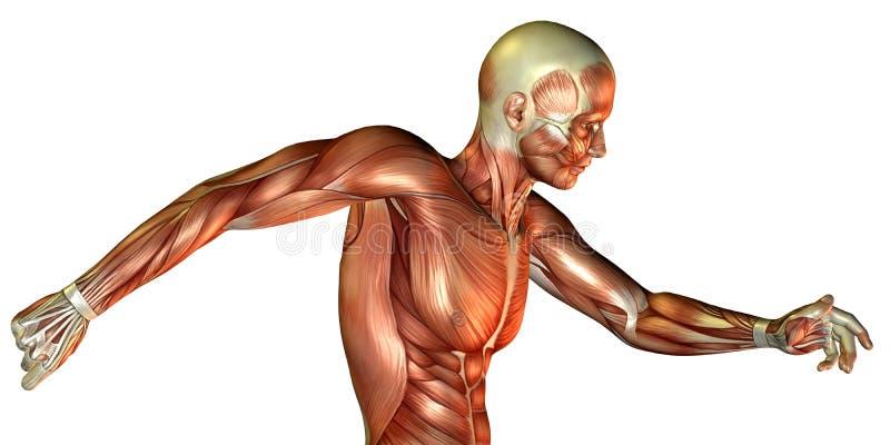 Estudo de movimento do torso masculino ilustração do vetor