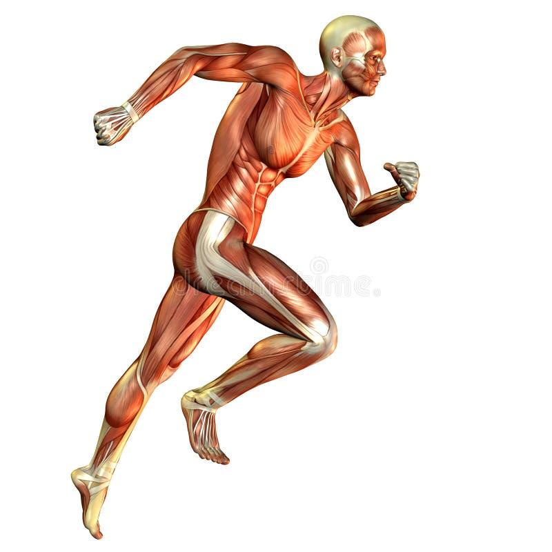 Estudo do corredor do homem do músculo ilustração stock