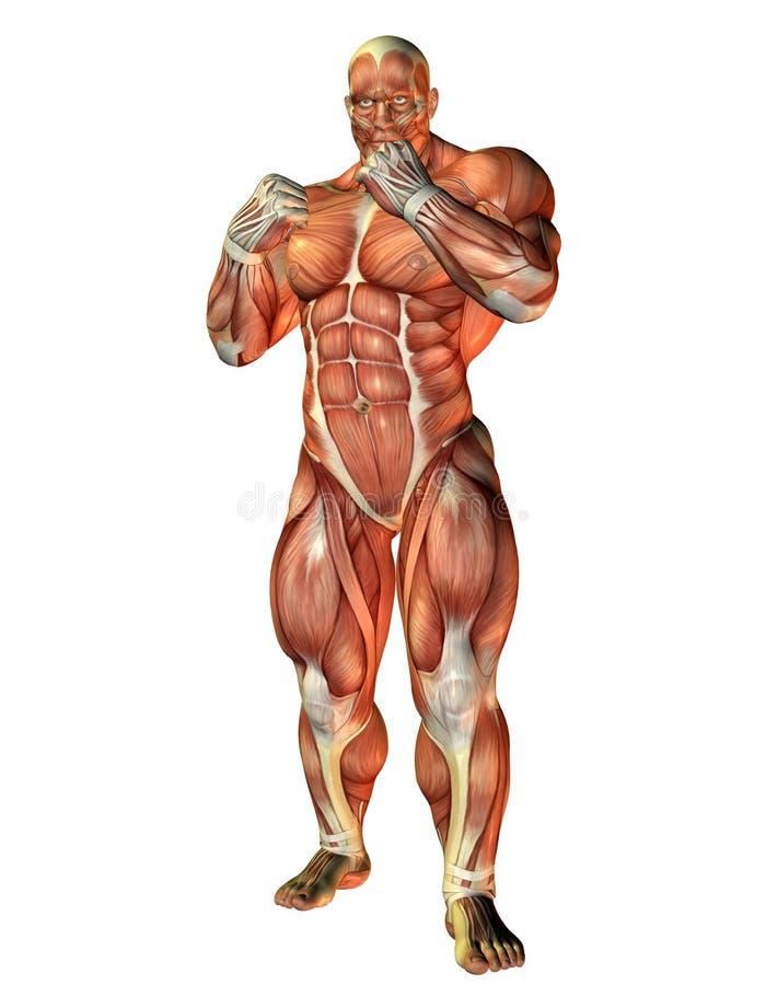 Estudo do músculo de um pugilista ilustração royalty free
