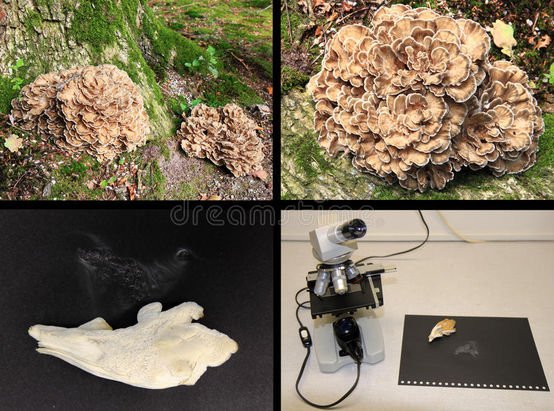 Estudo do microscópio do frondosa de Grifola fotos de stock