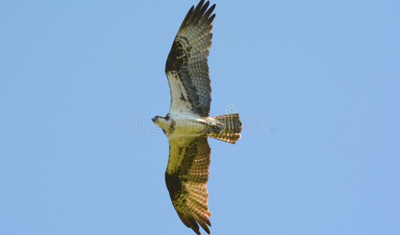 Estudo do norte crescente da águia pescadora imagens de stock