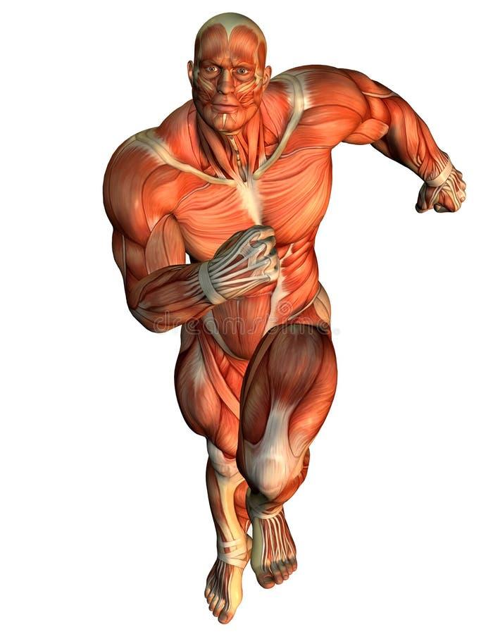 Estudo em curso do músculo de construtores de corpo masculino ilustração royalty free