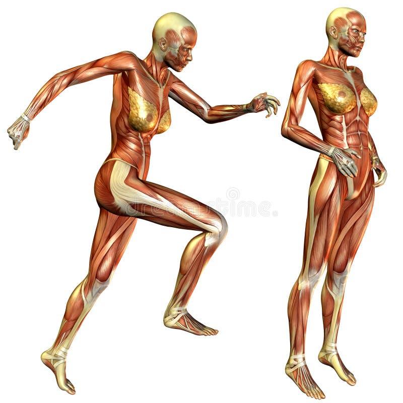 Estudo fêmea do músculo ilustração do vetor