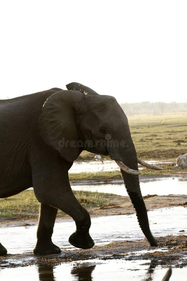 Estudo frontal do elefante fotos de stock royalty free