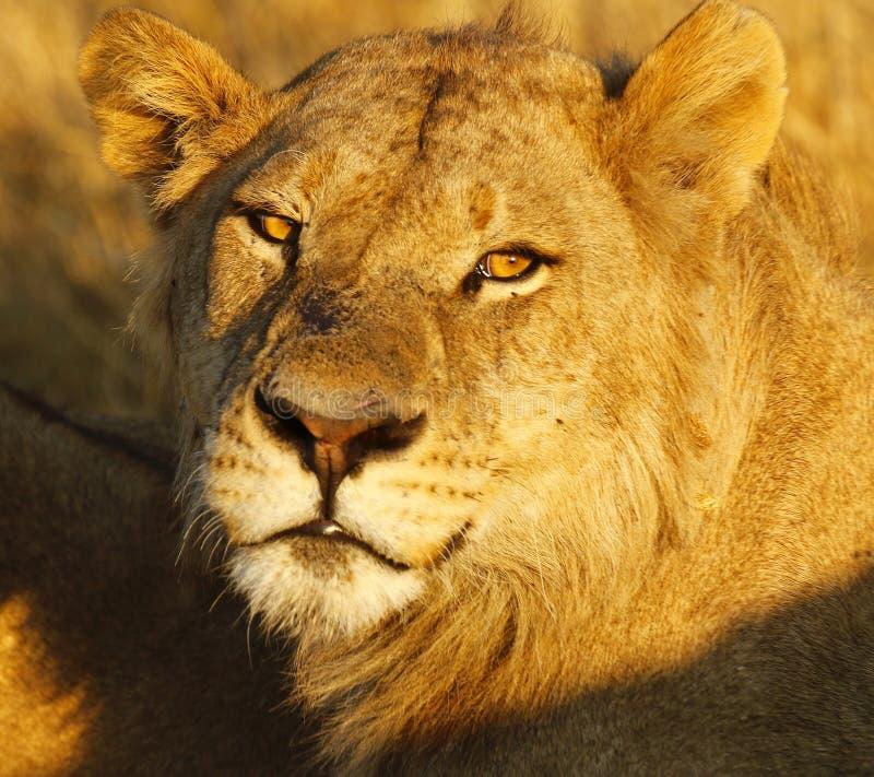 Estudo principal do leão masculino bonito do Secundário-adulto imagens de stock
