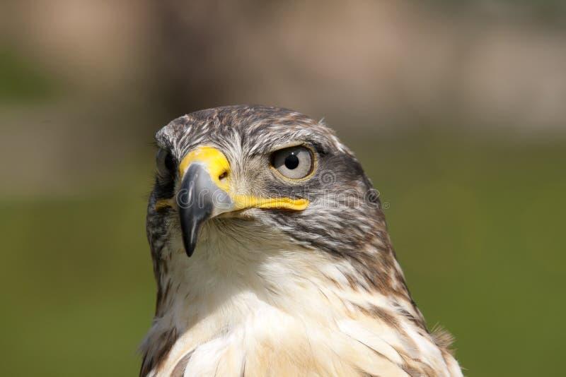 Estudo principal frontal de um falcão Ferruginous. foto de stock
