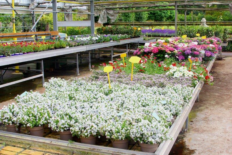 Estufa branca das plantas dos fowers da hortênsia da campânula foto de stock royalty free