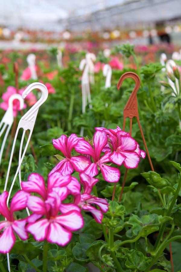 Estufa com pelargoniums imagem de stock royalty free