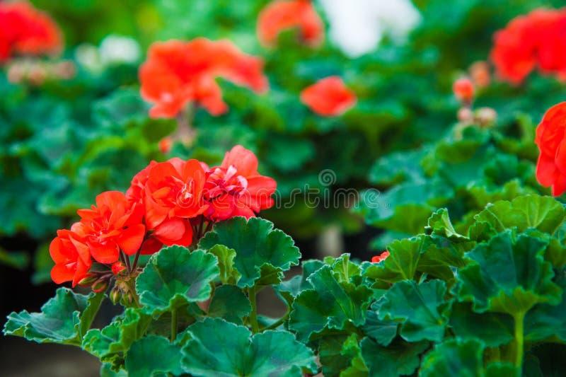 Estufa do jardim agribusiness imagens de stock