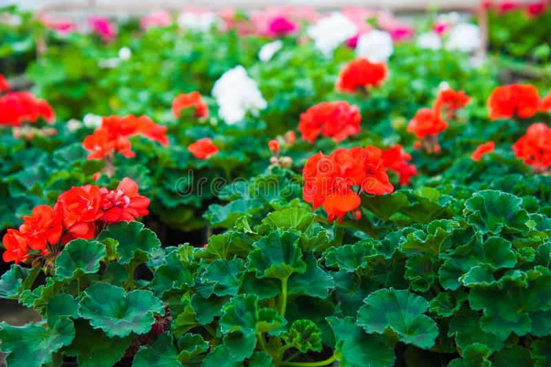 Estufa do jardim agribusiness imagem de stock