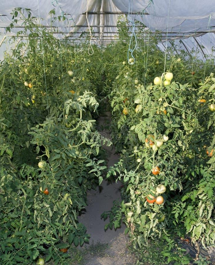 Estufa do tomate imagens de stock