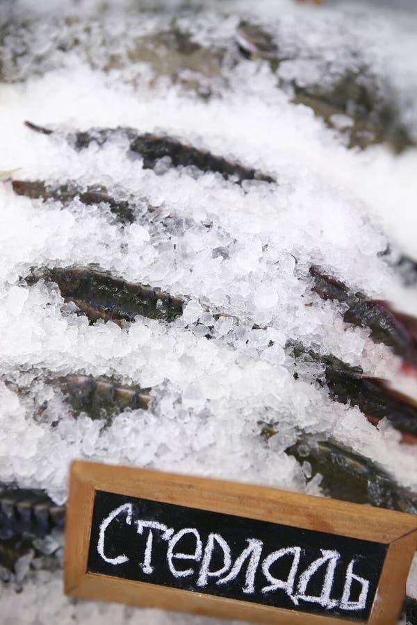 Esturjão, peixe fresco no gelo fotografia de stock