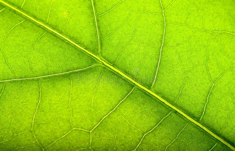 Esverdeie as folhas foto de stock royalty free