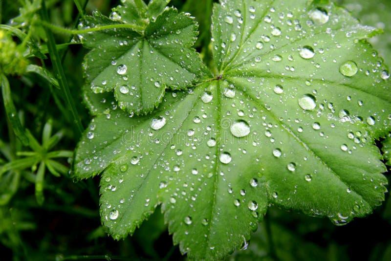 Esverdeie as folhas com gotas da água fotografia de stock