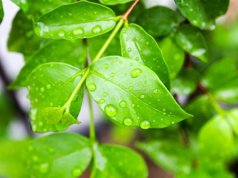 Esverdeie as folhas e a gota da água fotografia de stock