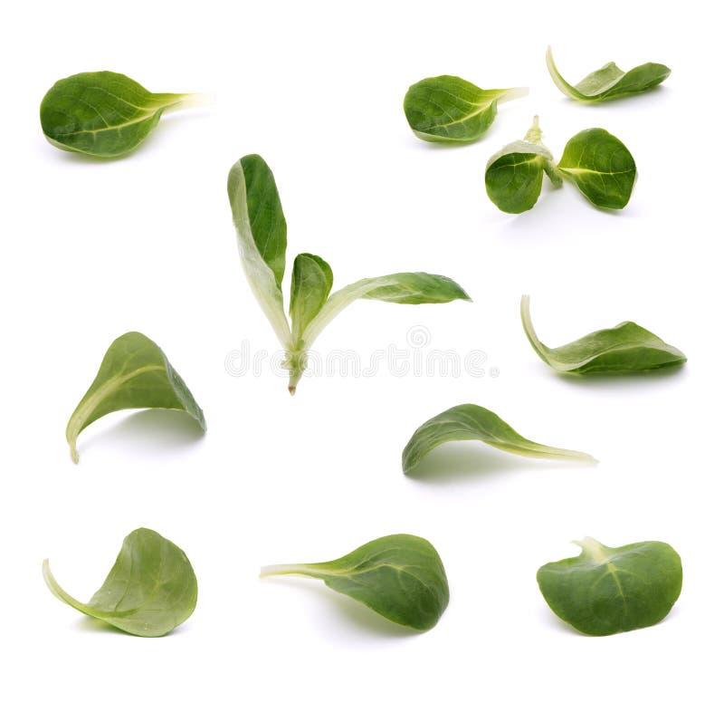 Esverdeie as folhas isoladas imagem de stock