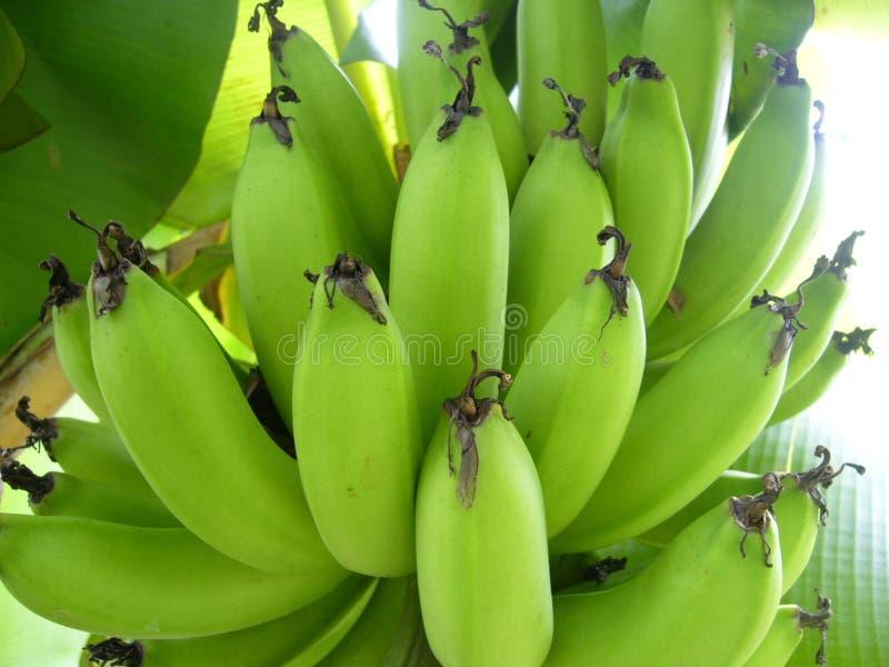 Esverdeie a banana fotos de stock royalty free
