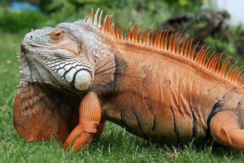 Download Esverdeie a iguana foto de stock. Imagem de naughty, fanciful - 10067768