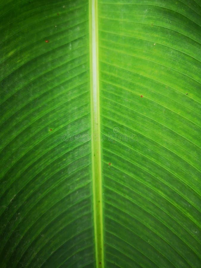 Esverdeie o fundo da folha da banana fotografia de stock royalty free