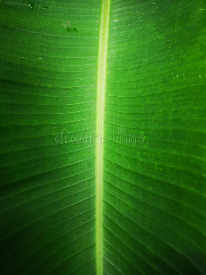 Esverdeie o fundo da folha da banana imagem de stock royalty free