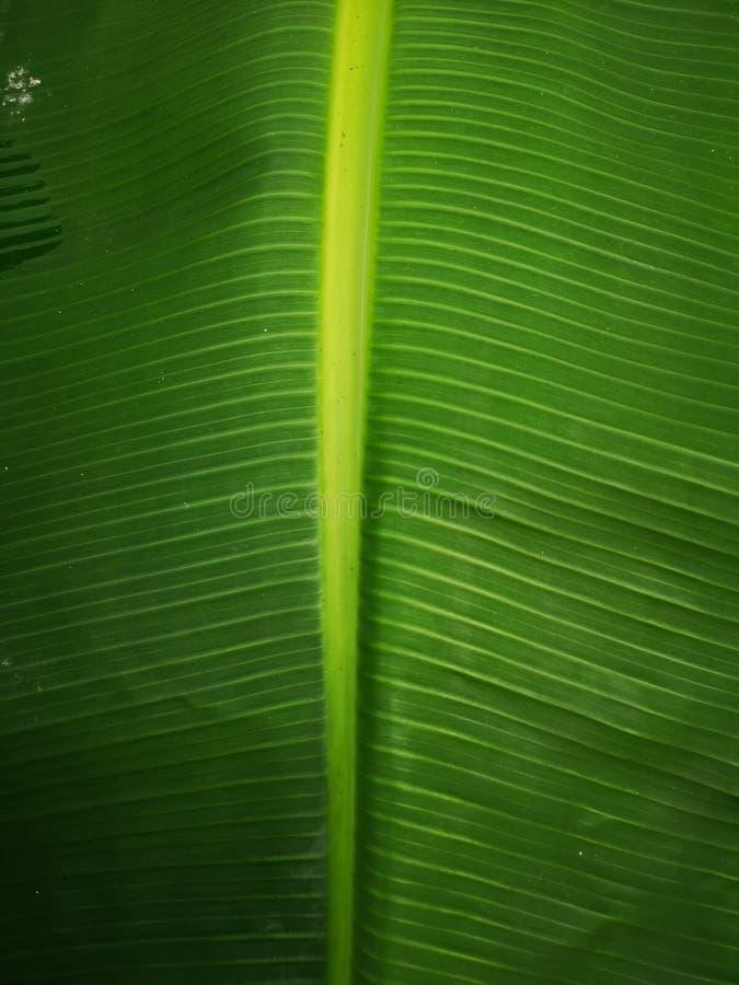 Esverdeie o fundo da folha da banana imagens de stock royalty free