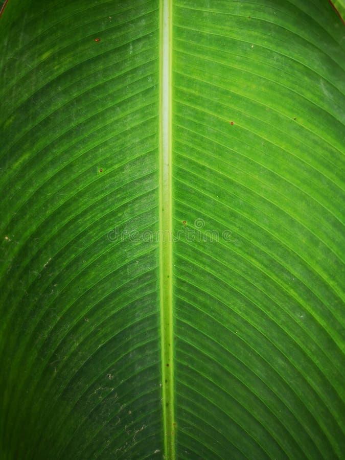 Esverdeie o fundo da folha da banana fotografia de stock