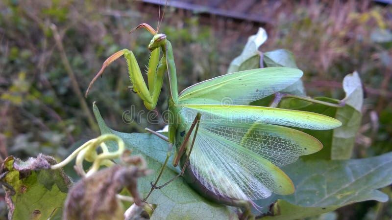 Esverdeie o Mantis Praying Inseto agradável imagens de stock