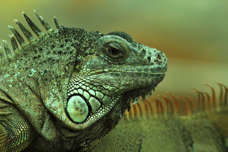 Esverdeie o retrato 1. da iguana. fotografia de stock royalty free