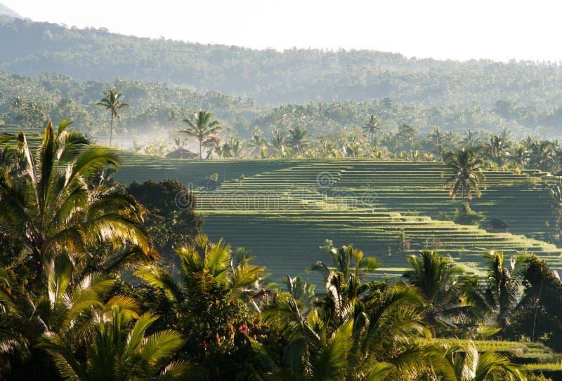 Esverdeie a paisagem plantada do campo do arroz em Bali com ninguém ao redor imagem de stock